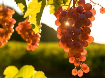 pinot-noir-grapes-near-grimsby-ontario